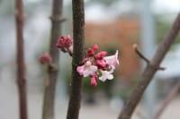 Winterschneeball Dawn • Viburnum bodnantense Dawn
