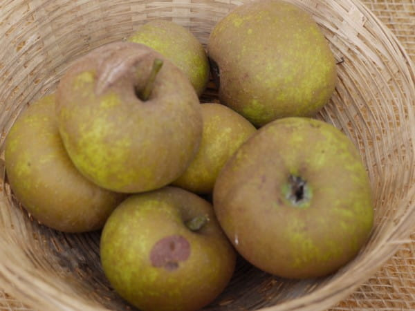 Apfel Coulons Renette • Malus Coulons Renette