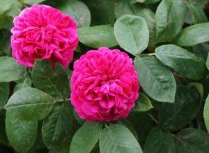 Garten Rose de Resht • Rosa Rose de Resht