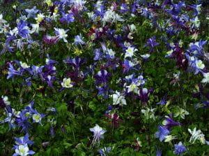 Langspornige Garten Akelei • Aquilegia caerulea Mc Kana