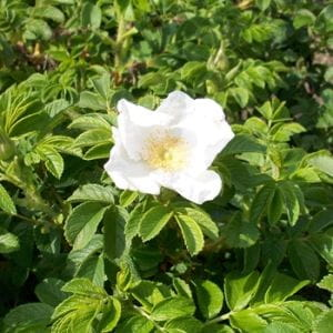 Apfel- / Kartoffel-Rose Alba • Rosa rugosa Alba