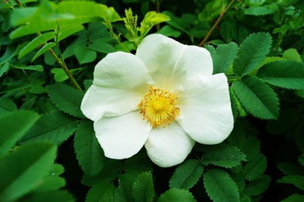 Bibernellrose • Rosa pimpinellifolia