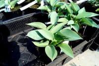 Garten-Funkie Halcyon • Hosta tardiana Halcyon
