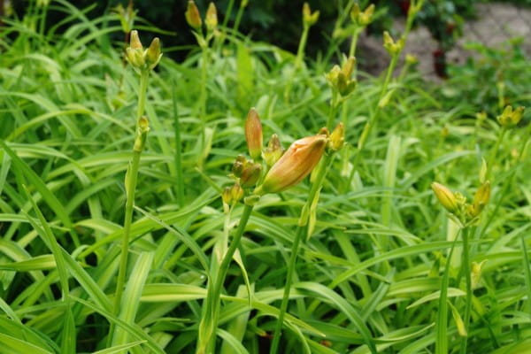 Garten-Taglilie Pandora´s Box • Hemerocallis Pandoras Box
