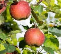 Apfelbaum Wellant • Malus Wellant