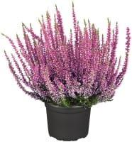 Gardengirls® Winterharte Knospenheide Rosita • Calluna vulgaris Rosita