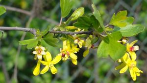 Goldjohannisbeere • Ribes aureum