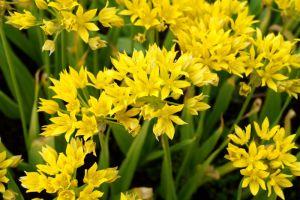 Gold Lauch • Allium moly