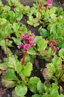 Garten Bergenie • Bergenia cordifolia Morgenröte