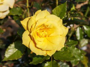 Rose Friesia ® • Rosa Friesia ®