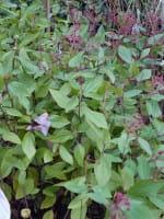 Säckelblume Marie Simon • Ceanothus pallidus Marie Simon