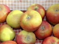 Apfelbaum Holsteiner Cox • Malus Holsteiner Cox