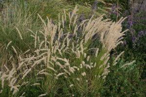 Wimper-Perlgras • Melica ciliata