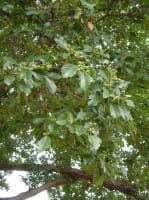 Hahnendorn grignonensis • Crataegus grignonensis
