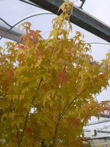 Fächerahorn Bi-hoo • Acer palmatum Bi-hoo