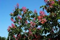 Rotblühende Edelkastanie • Aesculus carnea Briotii