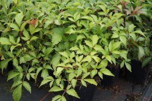 Garten Prachtspiere Deutschland • Astilbe japonica Deutschland