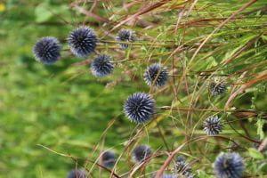 Ruthenische Kugeldistel • Echinops ritro