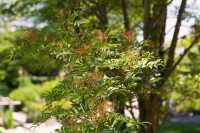 Speierling • Sorbus domestica