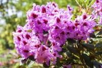Rhododendron Kabarett • Rhododendron Hybride Kabarett