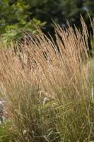 Garten-Reitgras Karl Förster • Calamagrostis x acutiflora Karl Förster