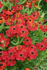 Garten-Sonnenbraut Rubinzwerg • Helenium x cult Rubinzwerg