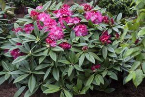 Rhododendron Berliner Liebe • Rhododendron Hybride Berliner Liebe