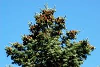 Colorado-Tanne • Abies concolor