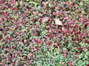 Kleinblättrige Teppichspindel Minimus • Euonymus fortunei Minimus
