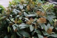 Immergrüner Kissenschneeball • Viburnum davidii