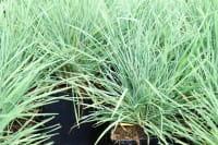 Schillergras • Koeleria glauca