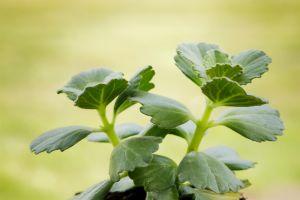 Verpiss dich Pflanze • Coleus canin