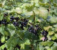 Johannisbeere Ometa • Ribes nigrum Ometa