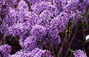 Edelflieder Sensation • Syringa vulgaris Sensation