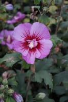 Rosen-Eibisch® • Hibiscus Russian Violet