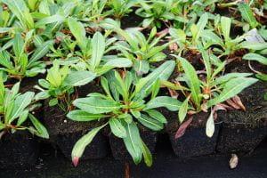 Garten Schneckenknöterich • Bistorta affinis Darjeeling Red