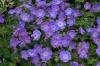 Storchschnabel Rozanne • Geranium wallichianum Rozanne
