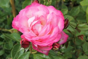 Rose Harlekin ® • Rosa Harlekin ®