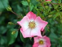 Rose Fortuna ® • Rosa Fortuna ®