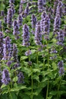 Garten Duftnessel • Agastache rugosa Blue Fortune
