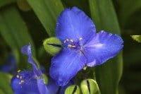 Garten-Dreimasterblume Zwanenburg Blue • Tradescantia anders. Zwanenburg Blue