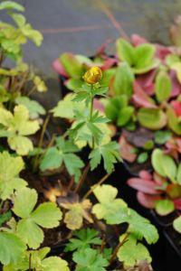Garten-Trollblume Golden Queen • Trollius chinensis Golden Queen