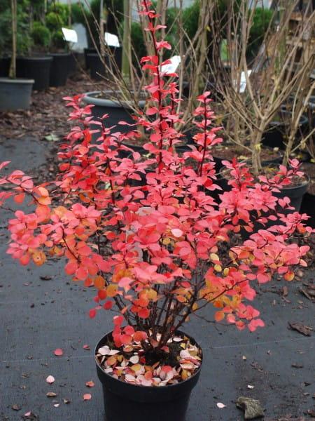 Blut-Berberitze • Berberis thunbergii Atropurpurea