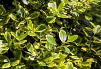 Gelbbunte Stechpalme Golden van Tol • Ilex aquif. Golden van Tol