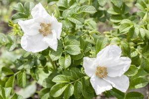 Hundsrose / Heckenrose • Rosa canina - Wildrose