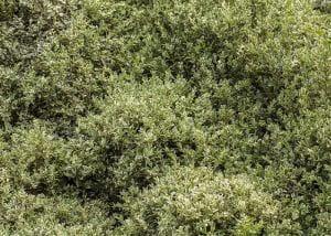 Buchsbaum Elegantissima • Buxus sempervirens Elegantissima