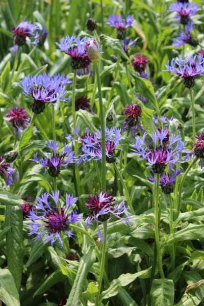 Berg-Flockenblume • Centaurea montana