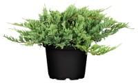 Flacher Wacholder Blue Chip • Juniperus horizontalis Blue Chip