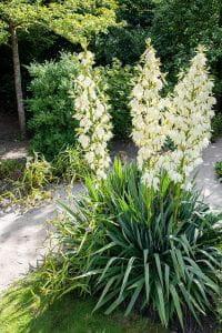 Palmlilie, Yucca-Palme • Yucca filamentosa