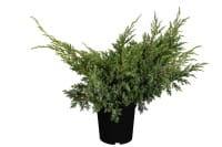 Zwerg-Wacholder Blue Swede • Juniperus squamata Blue Swede